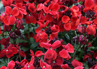 Wallflower SugarRush Red Earley Ornamentals