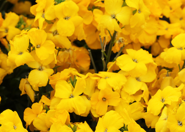 Wallflower SugarRush Yellow Earley Ornamentals