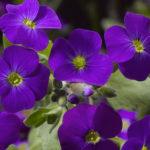 Audrey Purple Shades Earley Ornamentals