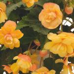 Begonia Illumination Apricot Earley Ornamentals