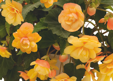 Begonia Illumination Apricot Earley Ornamentals
