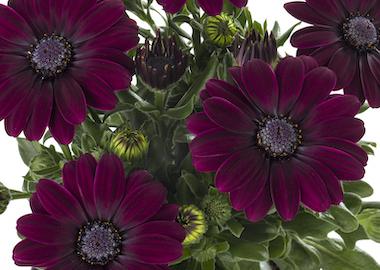 Osteospermum Sunny Gaia Earley Ornamentals