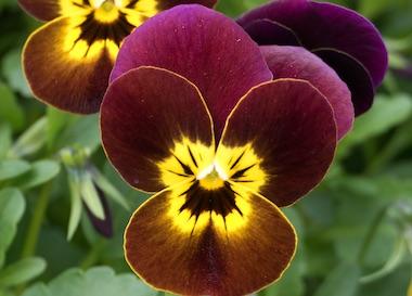 Viola Vibrante Ruby&Gold Earley Ornamentals