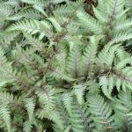 Athryuim Niponicum Pictum Earley Ornamentals