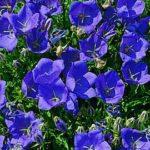 Campanula Carpatica Clips Deep Blue Earley Ornamentals