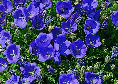 Campanula Carpatica Clips Deep Blue Earley Ornamentals