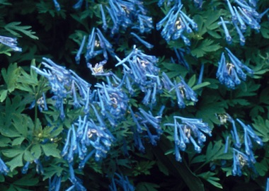 Corydalis Flexuosa China Earley Ornamentals