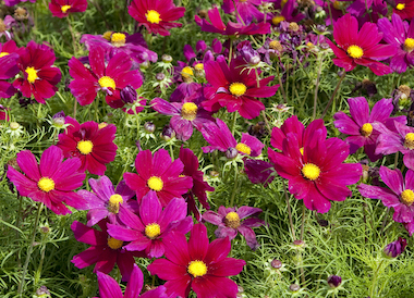 Cosmos Apollo Carmine Earley Ornamentals