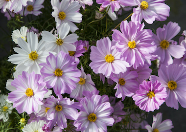 Cosmos Apollo Lovesong Earley Ornamentals