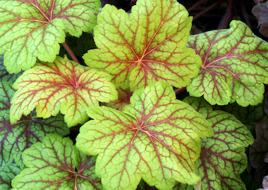 Heuchera Electric Lime Earley Oranamentals