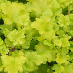 Heuchera Lime Marmalade Earley Ornamentals
