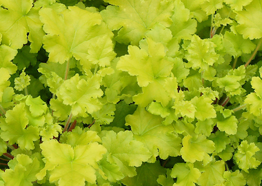 Heuchera Lime Marmalade Earley Ornamentals