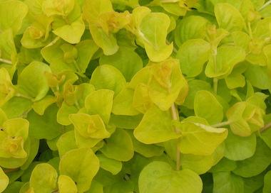 Lysmachia nummularia Gold Earley Ornamentals