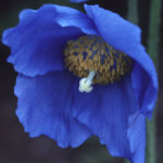 Meconopsis Lingholm Earley Ornamentals