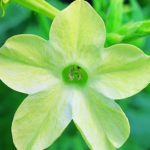 Nicotiana Avalon Lime Earley Ornamentals