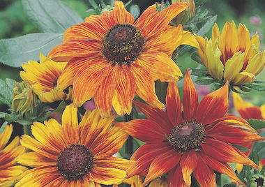 Rudbeckia Autumn Colours Earley Ornamentals