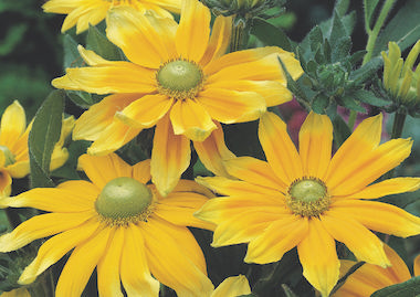 Rudbeckia Priarie Sun Earley Ornamentals