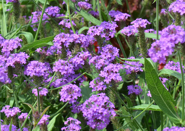 Santos Purple Verbena Earley Ornamentals