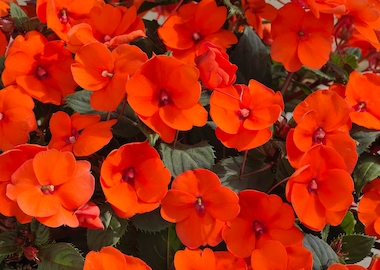 SunPatiens Hot Coral Earley Ornamentals