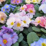 Primula Provence Mix Earley Ornamentals