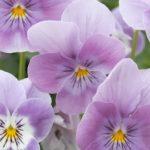 Viola Vibrante Pink Surprise Earley Ornamentals