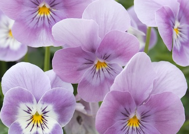 Viola Vibrante Pink Surprise Earley Ornamentals