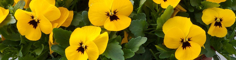 Earley Ornamentals Freefall Yellow Blotch 1170